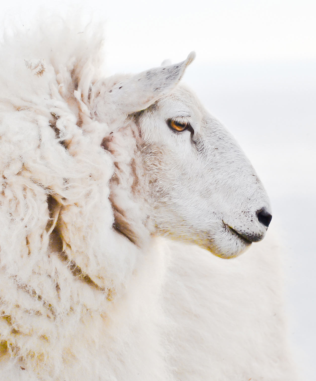 furniture store marketing sheep